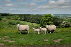 Who ewe looking at! (1 of 1) (rachelhart6) Tags: nikon d750 35mm what ewe looking goathland yorkshire moors spring sheep lambs