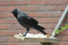 Crow's in my backyard. (PhotoTJH) Tags: phototjh phototjhnl kraai crow black zwart vogel bird brood bread teleconverter