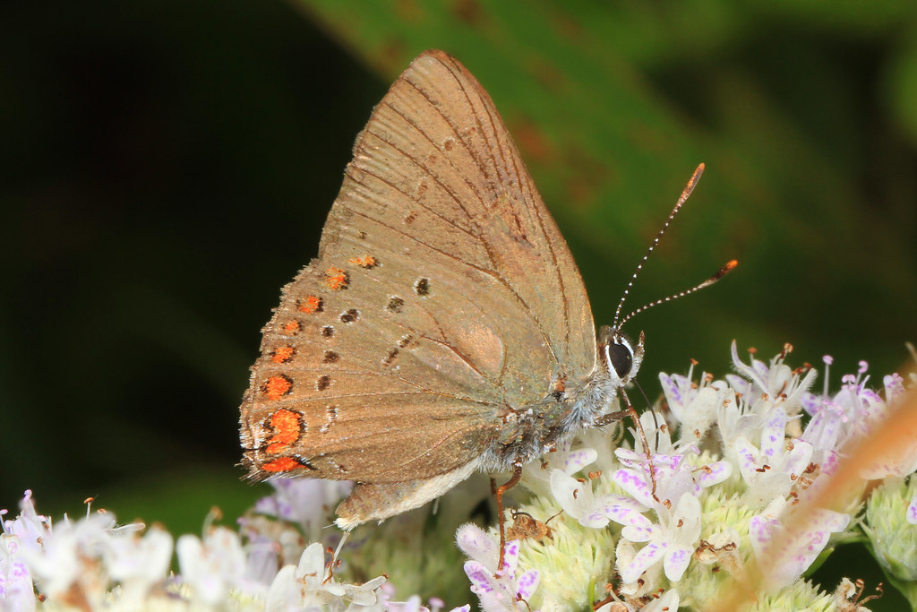 Coral Hairstreak - Satyrium titus, Occoq by Judy Gallagher, on Flickr