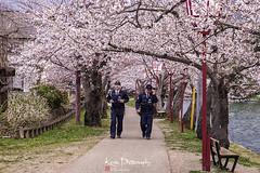 FXT13496 (kevinegng) Tags: japan aomoriprefecture hirosaki hirosakicastlepark sakura cherryblossom 日本 青森県 弘前市 弘前公園 sakurapath policeman patrolling