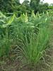Cymbopogon citratus (DC.) Stapf Poaceae-lemongrass, ตะไคร้ (SierraSunrise) Tags: agriculture banana crops farming food herbs lemongrass musaceae nongkhai phonphisai poaceae thailand