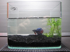Get a Pet Betta Fighting Fish! (Stress Relief in Singapore)