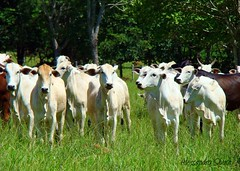 Nelore (Alessandro Sousa) Tags: verde green brasil br natureza go centro pasto cerrado animais vaca gois alessandro oeste sousa bovino gado centrooeste bezerro nelore flickraward pastoverde piracanjuba alessandrosousa gadonelore
