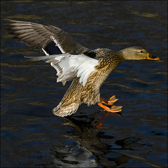 ~ Touchdown ~ (ViaMoi) Tags: canada bird water duck ottawa flight landing waterfowl skimming viamoi