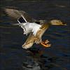 ~ Touchdown ~ (ViaMoi) Tags: canada bird water duck ottawa flight landing waterfowl skimming viamoi
