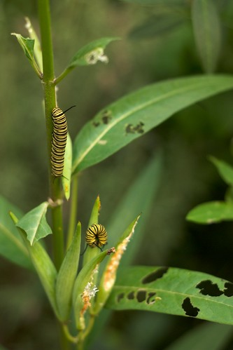 Two monarch caterpillars chomping on milkweed leaves