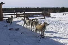 Pre-allerta neve // Snow alert for next hours (La minina) Tags: snow dogs suomi finland lapland neve levi finlandia cani slitta lapponiafinlandese unbellissimoviaggiodiqualcheannofa fafreddoanchequi gettyimagesfinlandq1 ginordicaug ginordicsept