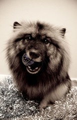 Day 356 - Got balls? (TerraNik) Tags: christmas dog mouth project decoration tinsel 365 trick bauble hold keeshond