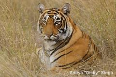 ADS_000007610 (dickysingh) Tags: wild india outdoor wildlife tiger bigcat aditya soe ranthambore singh ranthambhore dicky naimal bej specanimal adityasingh ranthamborebagh theranthambhorebagh wwwranthambhorecom