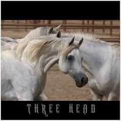 T H R E E . H E A D S (T A Y S E R) Tags: horse nikon kuwait ksc arabian tayseer alhamad tayseeralhamad