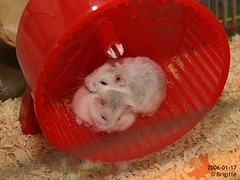 Lets have a rest. (Hamster Lover 14) Tags: funny hamsters