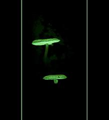 "More Glowing Fungi ""Mycena chlorophos"" at Natural Arch (danishpm) Tags: longexposure night canon rainforest kitlens australia naturalbridge fungi qld aussie aus mycena naturalarch springbrooknationalpark eos450d 450d numinbah arfp glowingmushrooms 55250mm tweedshire arffungi qrfp mycenachlorophos sorenmartensen greenarffungi gilledarffungi basidiomycetesarffungi"