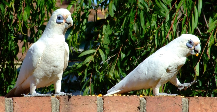 little corella 01