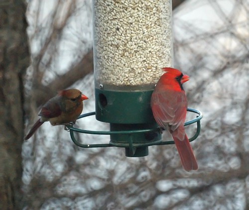 Cardinals at the feeder