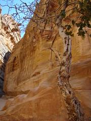 Survivor (Anita363) Tags: tree flora sandstone petra siq unescoworldheritagesite jordan geology tough gnarled slotcanyon unidentified ummishrinsandstone