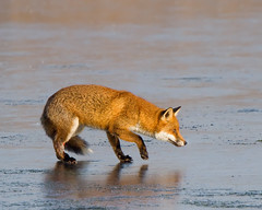 Nervous Fox (Andrew H Wildlife Images) Tags: ice nature mammal wildlife fox warwickshire vulpesvulpes brandonmarsh canon7d ajh2008