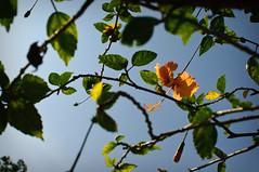 Hibiscus (fizkata) Tags: florafauna