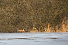 Fox (Vulpes vulpes crucigera) 17 Jan-10-19358 (tim stenton www.TimtheWhale.com) Tags: england mammal yorkshire canine fox wetland carnivore pottericcarr doncaster southyorkshire redfox reynard yorkshirewildlifetrust ywt pipermarsh landmammal vulpesvulpescrucigera