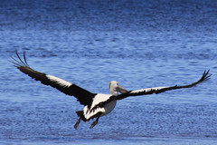 pelican four (Rosemary Grant Photograhy) Tags: blue bird water canon bay fly swan wings australia pelican victoria geelong queenscliff 50d swanbay