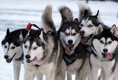Huskies (Helgi Skulason) Tags: dogs iceland eyes sled endurance cooperation strenght huskie toungs topseven selddogs helgiskulason helgiskulasongmailcom