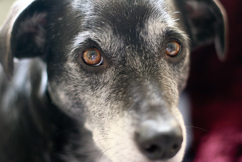 A close up of Mikey the dog, who passed from AIHA