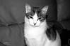 La paciencia de una gata... (Lograi) Tags: blackandwhite bw pet byn blancoynegro animal cat blackwhite nikon uma gato mascota tier nikond40