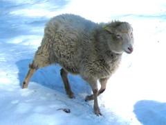 Running Caramel (Rick Scully) Tags: vermont sheep farm caramel tunbridge 2010 churro tunbridgevt navajochurro terrapingardensfarm
