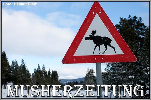Elche sind um Röros oder Grimsbu in Norwegen keine Seltenheit
