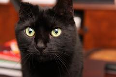 2010_01_19_9999_15 (BrainPie) Tags: family boy cats pets black male love animals cat feline kitty otto kitties felines panther bestofcats boc0310