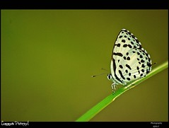 Common Pierrot (Ajith ()) Tags: macro green nature closeup butterfly leaf bokeh pierrot wayanad commonpierrot nikond40x d40x