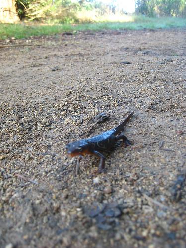 Rough-skinned newt? Photo