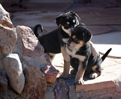 Trevor & Evelyn @ 5 weeks (Immature Animals) Tags: rescue cute puppies bark adoptions