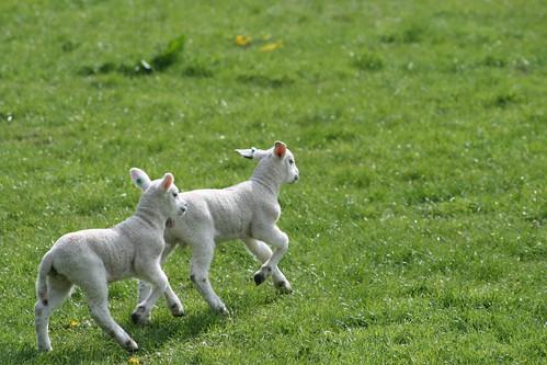 Lambs running Poynings