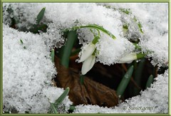 SNOWDROPS UNDER MELTING SNOW (susies.genii) Tags: flowers winter snow macro ice drops snowdrops signofspring flowerbuds