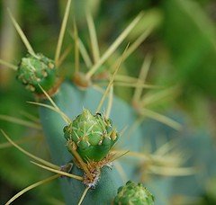The anatomy of Cactus thorns (jungle mama) Tags: cactus usa green leaf florida miami tropical bud pup pricklypear thorn distillery pricklypearcactus naturesfinest coth babycactus supershot cactusbud mywinners abigfave theunforgettablepictures macromarvels cactusthorns goldstaraward naturethroughthelens rubyphotographer 100commentgroup dragondaggerphoto redmatrix platinumpeaceaward coth5 antoncactus biscayneparkflorida