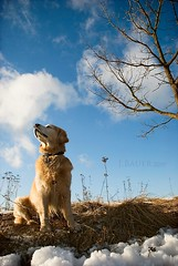 9/52  spring is in the air (Ciscolo) Tags: dog goldenretriever spring bluesky cisco 952 52weeksfordogs alastbitofsnow butweareenjoyingthesun
