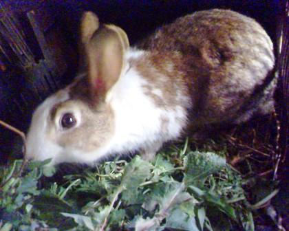 Lapin أرنب