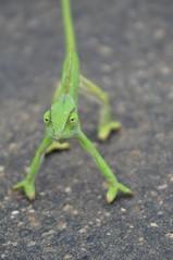 Why did the chameleon cross the road? (Pim Stouten) Tags: southafrica reptile chameleon kruger kameleon verkleurmannetjie