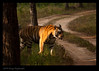 Royal Bengal Tiger (Jnarin) Tags: stripes tiger conservation endangered bengaltiger madhyapradesh kanha centralindia kanhanationalpark canoneos1dmarkiii pantheratigristigris royalbengaltiger canonef100400mmf4556lusmis pantheratigrisbengalensis nationalanimalofindia tigerconservation niranjvaidyanathan