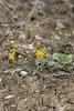 narciso silvestre (jbardajiz) Tags: flor aragon narciso