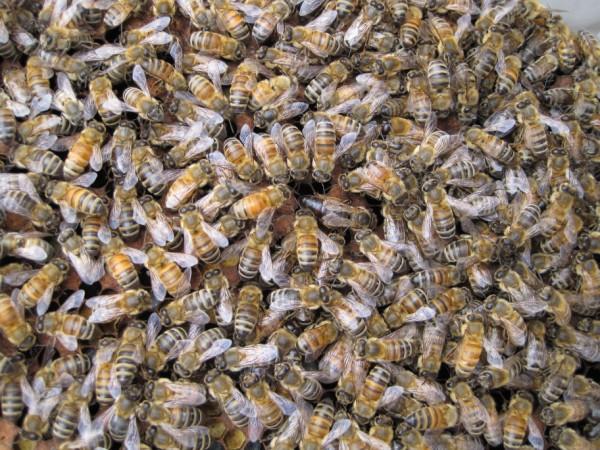 beekeeping 051 (600 x 450)