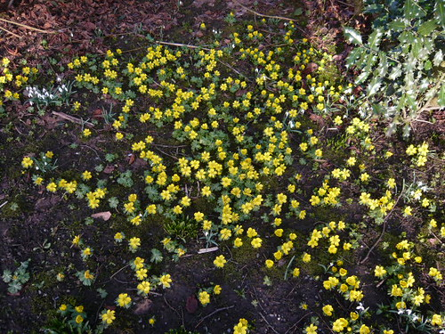 March 2 Winter Aconites