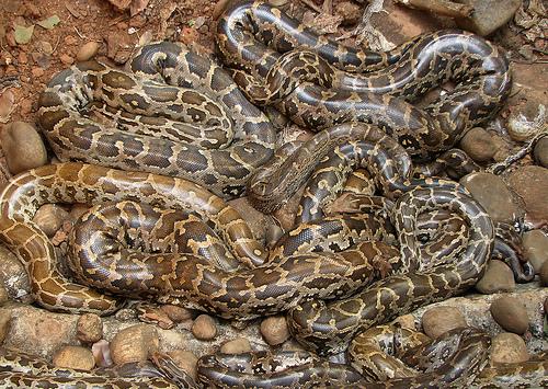pythons wildxplorer