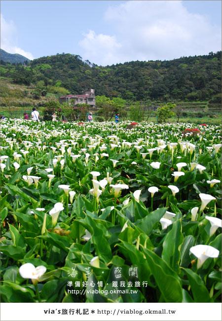 【2010竹子湖海芋季】陽明山竹子湖海芋季~海芋盛開囉!2