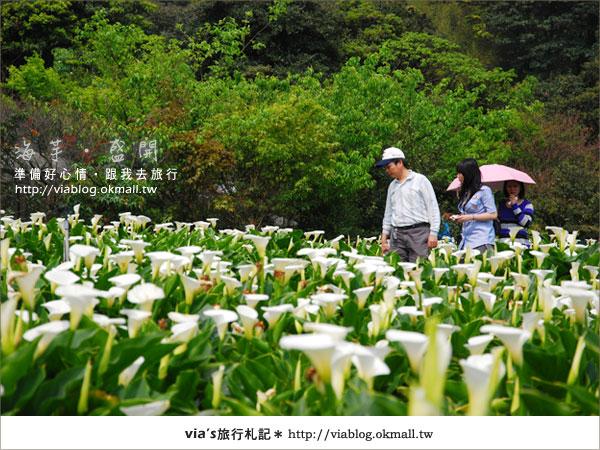 【2010竹子湖海芋季】陽明山竹子湖海芋季~海芋盛開囉!9