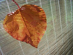 amber sunset-4 (YAZMDG (15,000 images)) Tags: trees light plants abstract tree nature flora arty artistic australia nsw hinterland northernrivers rainbowregion goonengerry nswrfp lushhinterland floraandfaunaofmullum yazminamicheledegaye northernriversspecies