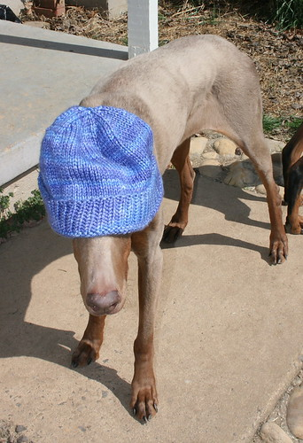 A fawn Doberman wears a purple and blue stocking cap, which covers her eyes.  Something about her posture indicates that the person who put that hat on her is going to suffer.