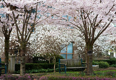 Park Bench (R. Sawdon Photography) Tags: pink flowers white spring peace heather relaxing cherryblossoms parkbench cherrytrees greengrass portmoodybc rsawdonphotography dilomar10 sweetsmalls