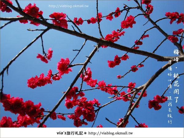 【梅峰農場桃花緣】最美的桃花隧道,就在南投梅峰這裡~(上)14