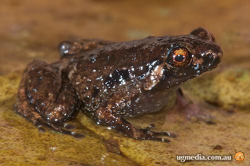 Creaking nurseryfrog (Cophixalus infacetus)